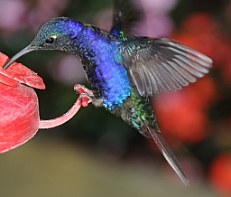 Vilot Sabrewing hummingbird