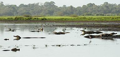 Kaimans at Cano Negro