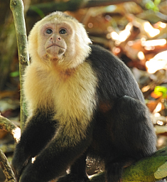 White faced capucian monkey