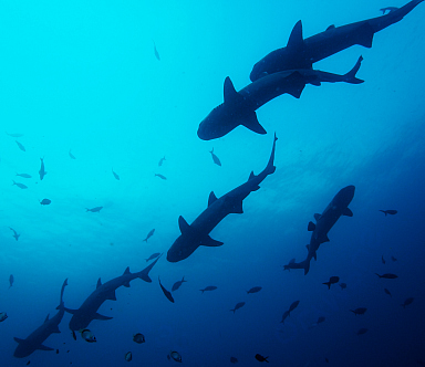 White Tipped Reef Sharks