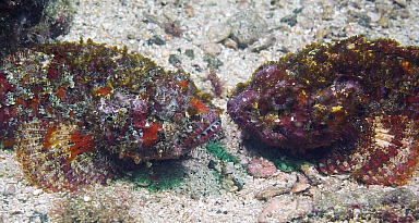 Pair of scorpion fish