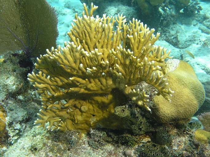 branching fire coral - photo #5