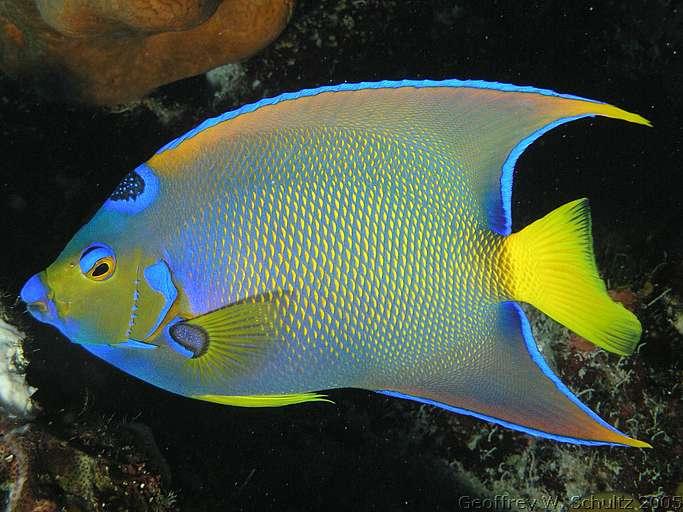Bluejacket queen angelfish holacanthus cilaris for Queen angel fish
