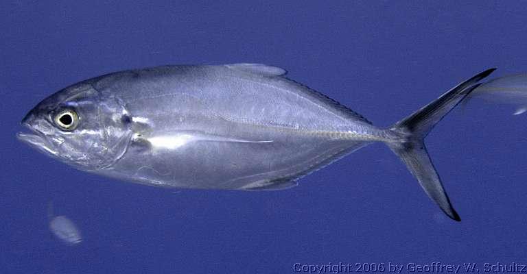 Bluejacket blue runner caranx crysos for Blue runner fish